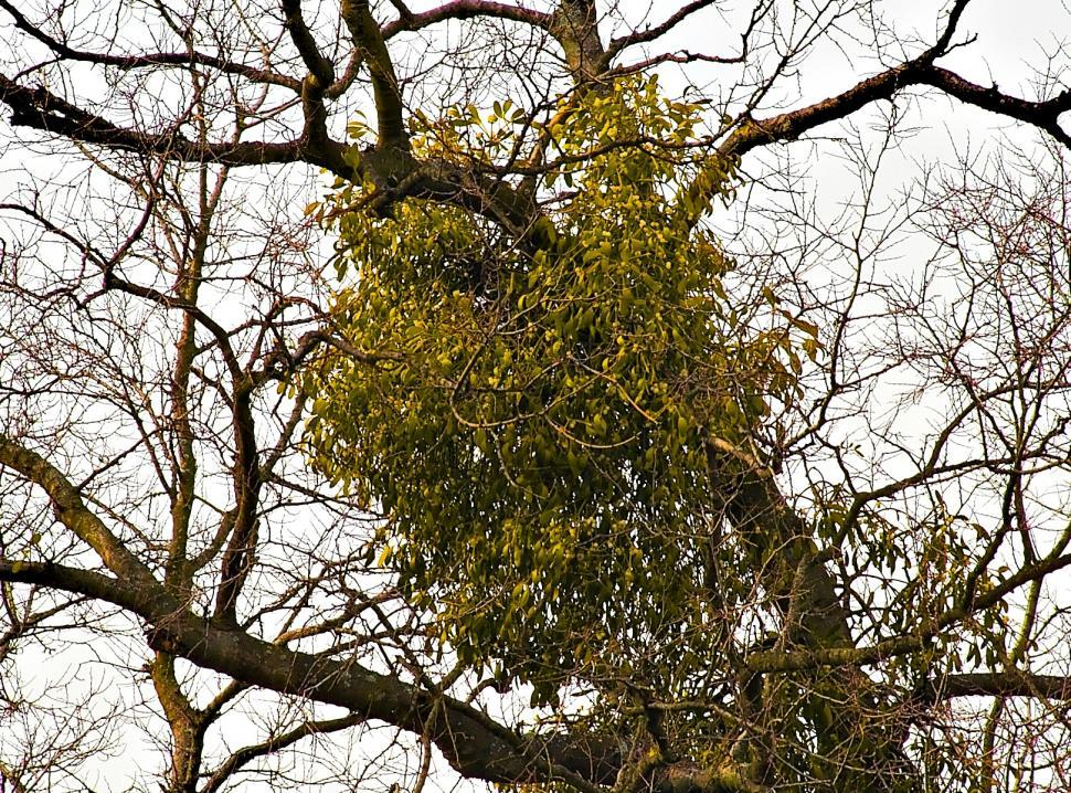 Download Free Stock HD Photo of Mistletoe Online