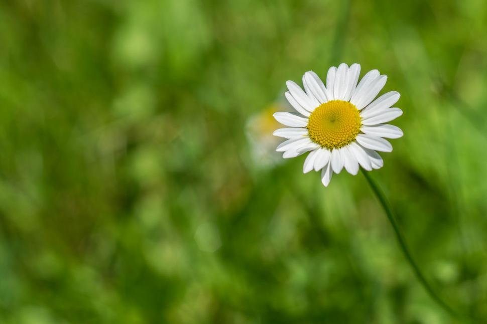 Download Free Stock HD Photo of Shasta Daisy white flower yellow  Online