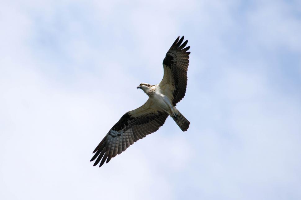 Download Free Stock Photo of osprey in flight fishhawk