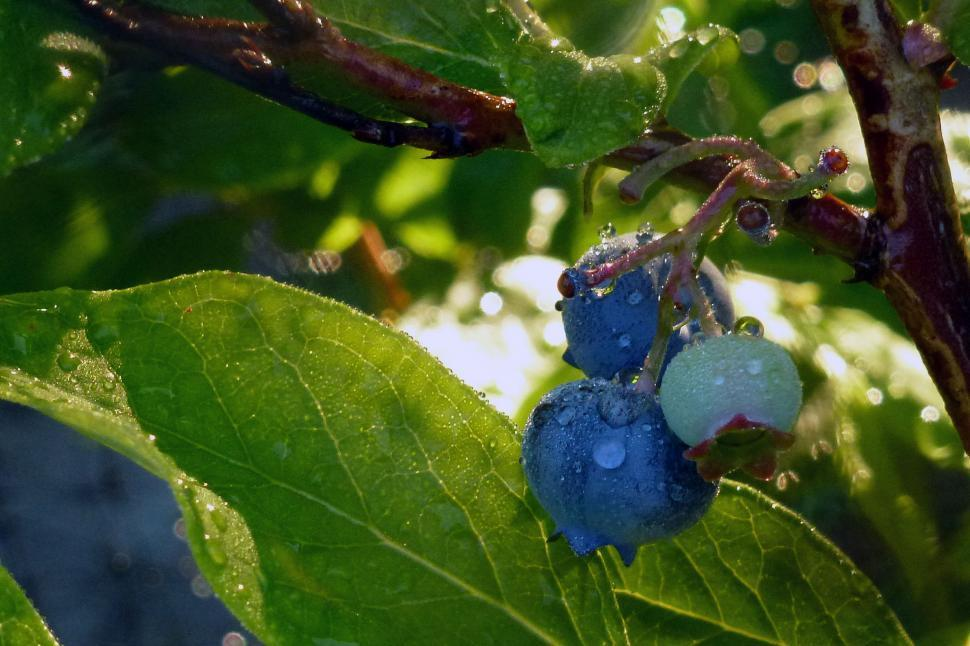 Download Free Stock HD Photo of Blueberries On The Bush Online
