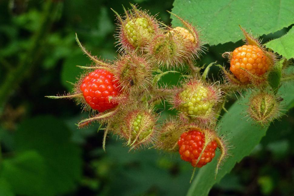 Download Free Stock HD Photo of Wild Red Raspberries Online