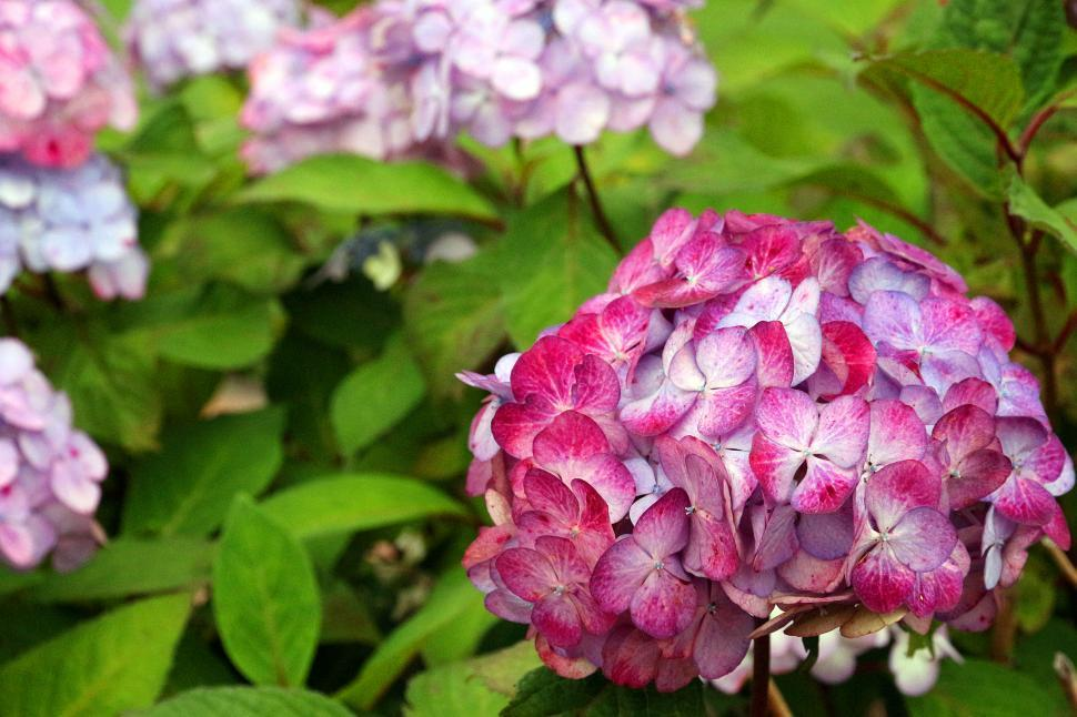 Download Free Stock Photo of Hydrangeas Flowers