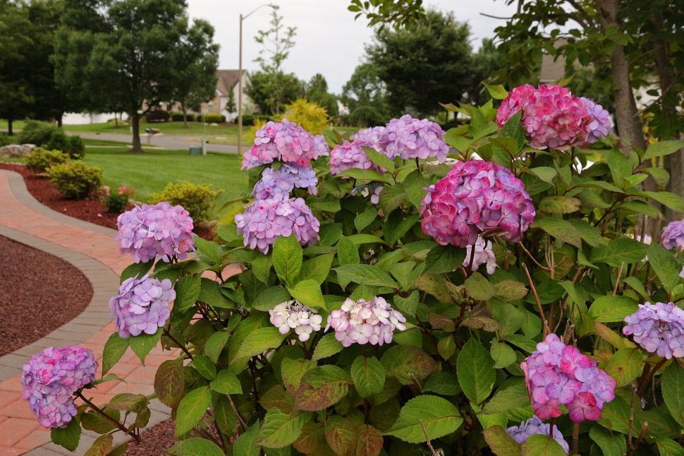 Download Free Stock Photo of Hydrangeas Flowers