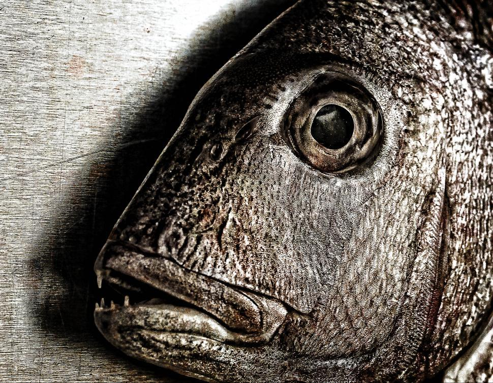 Download Free Stock Photo of Fish face - Closeup of a snapper