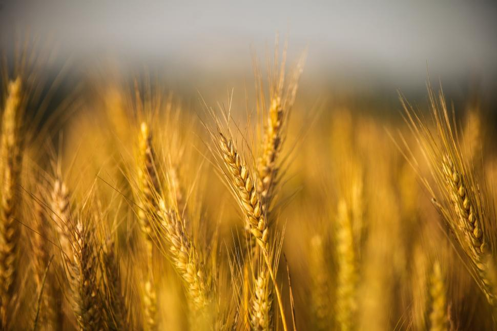 Download Free Stock HD Photo of Golden wheat field Online