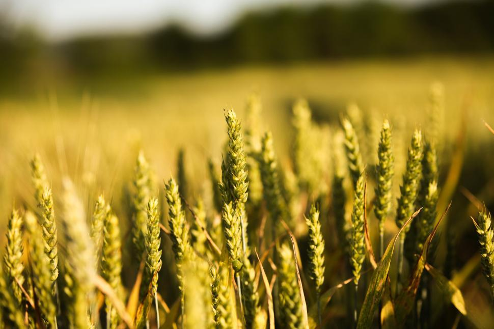 Download Free Stock Photo of Wheat field