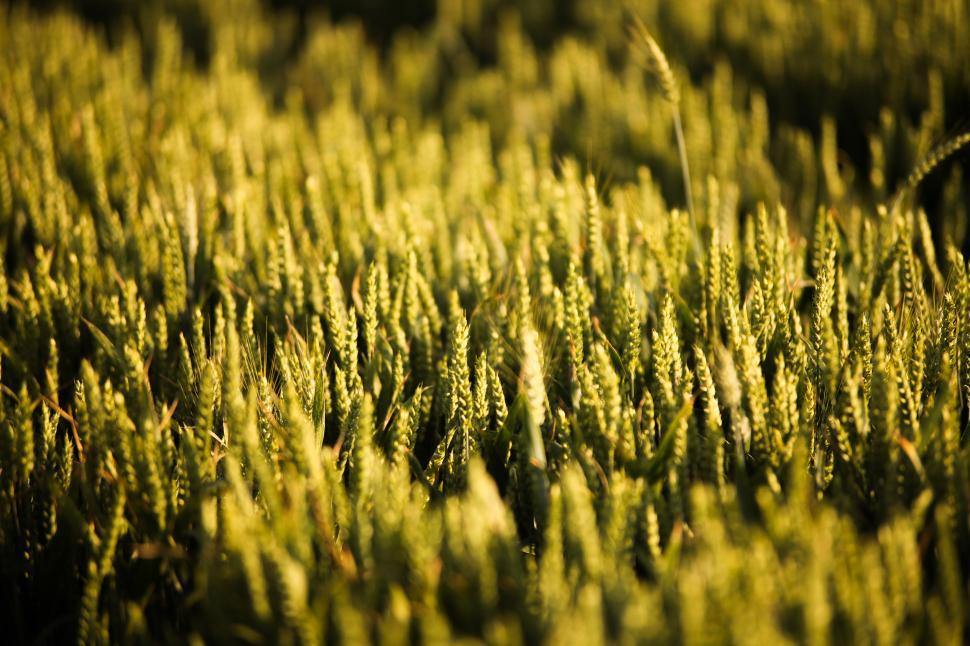 Download Free Stock Photo of  Golden wheat field
