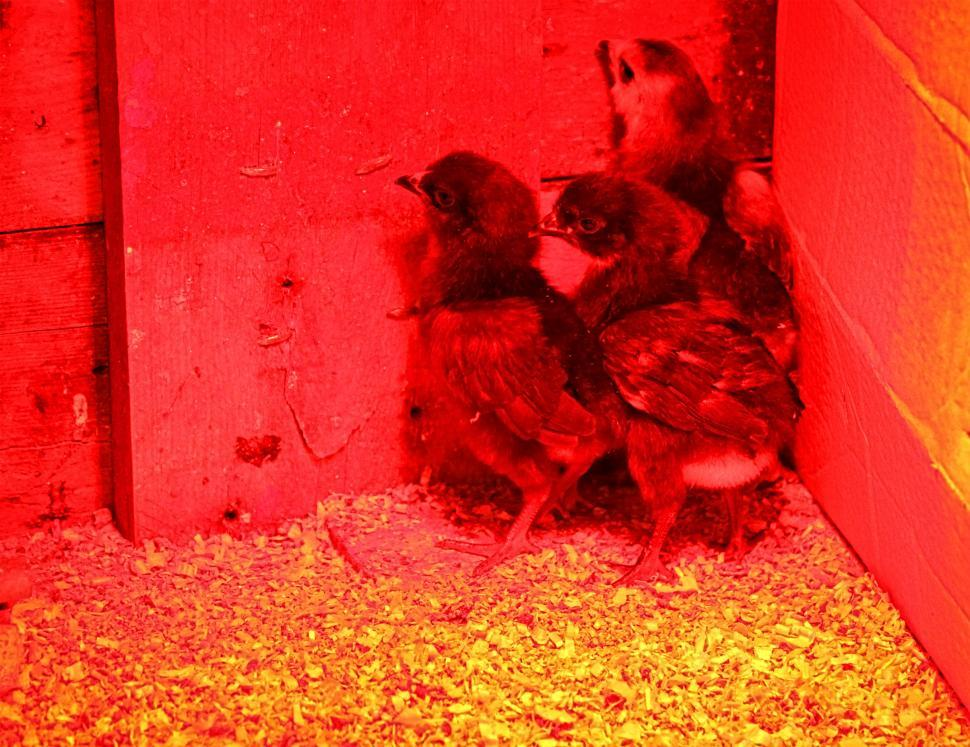 Download Free Stock Photo of Three young chicks at the nursery