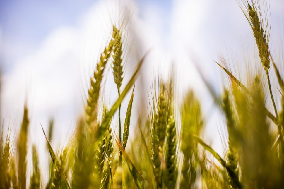 Download Free Stock Photo of Wheat in the field