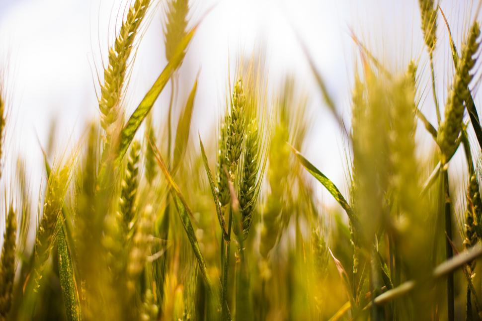 Download Free Stock Photo of Field of growing wheat