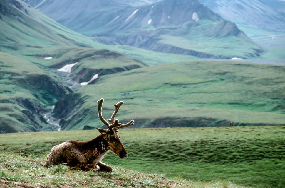 Download Free Stock Photo of Young Caribou