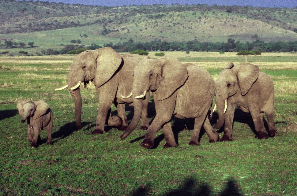 Download Free Stock Photo of Herd of African elephants