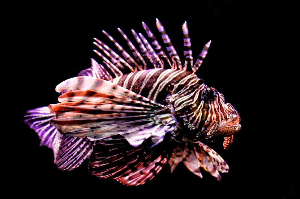 Download Free Stock Photo of Tropical fish - Red Lionfish - Pterois volitans - a dangerous co