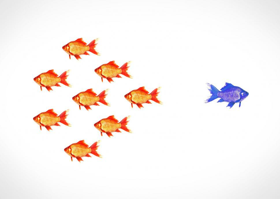 Download Free Stock Photo of Standing out from the crowd - A blue goldfish escapes from the s