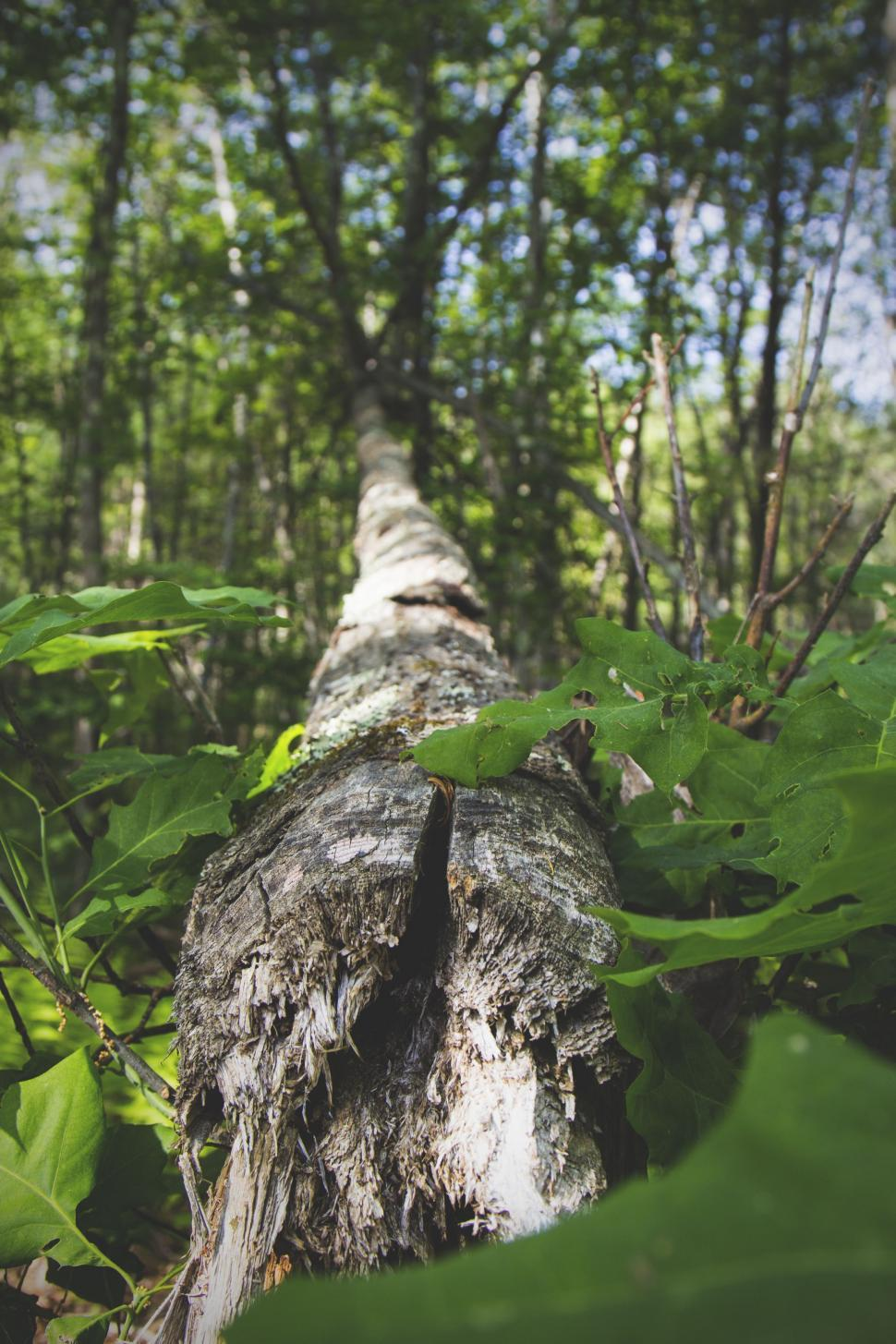 Download Free Stock Photo of three-toed sloth sloth tree plant fir forest fern landscape