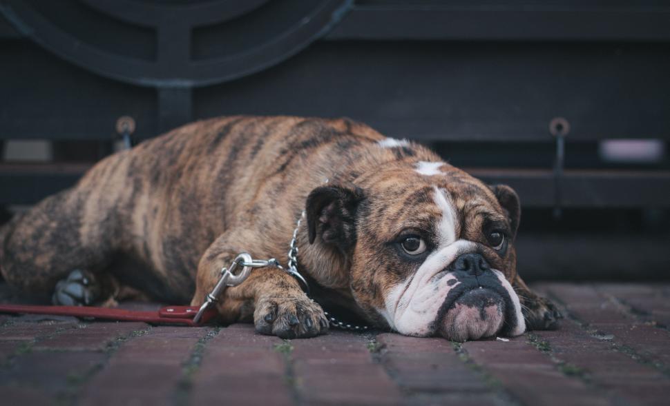 Download Free Stock Photo of boxer dog canine domestic animal animal bull mastiff