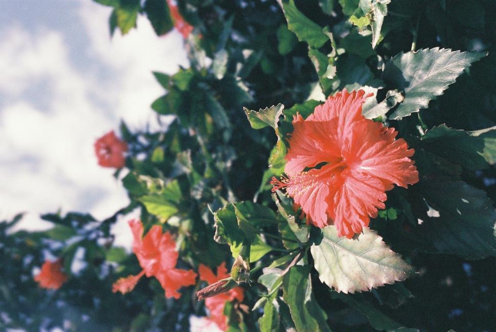 Download Free Stock Photo of ornamental shrub flower rose plant maple bloom blossom garden petal flowers flora leaf