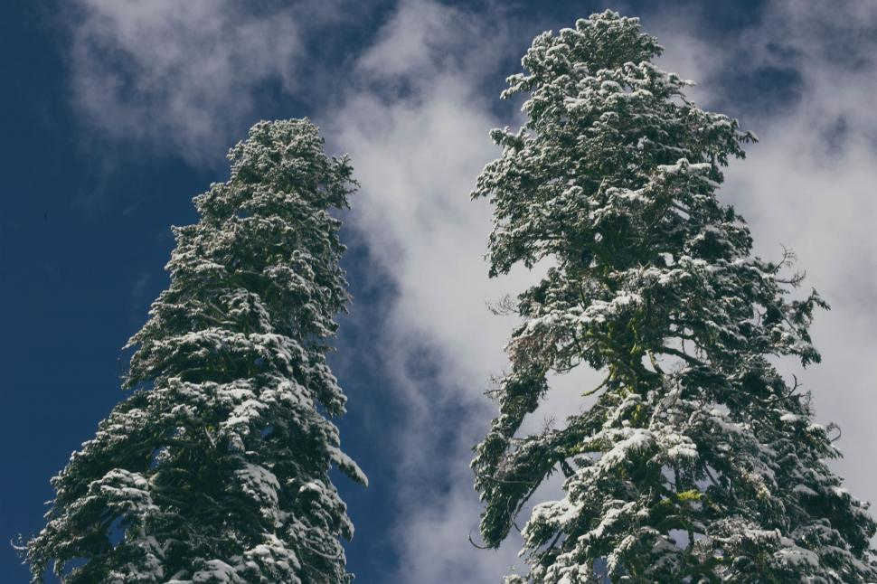 Download Free Stock Photo of fir tree pine christmas winter season holiday xmas forest plant landscape new celebration branch