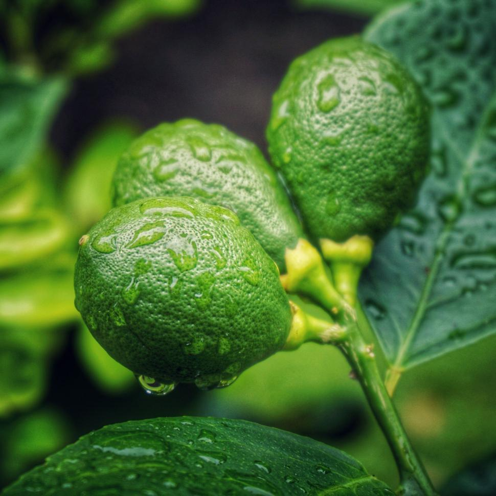 Download Free Stock Photo of fruit produce edible fruit food vegetable lime acorn healthy fresh custard apple