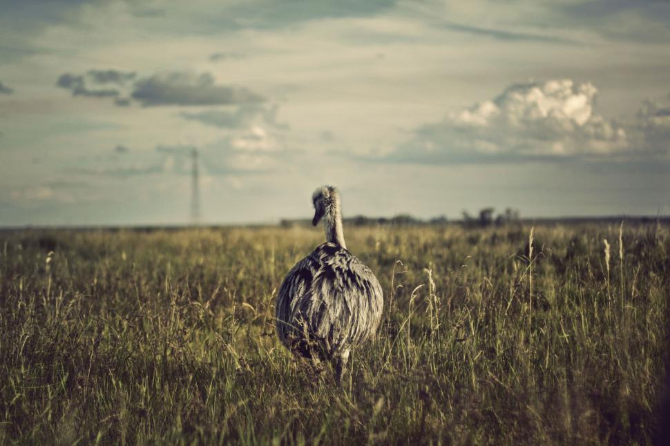Download Free Stock Photo of prairie chicken grouse game bird bird game field animal grass sky