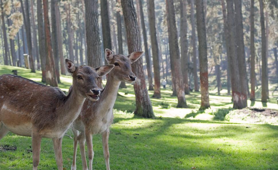 Download Free Stock Photo of deer animal mammal wildlife whitetail brown wild antelope bovid antlers