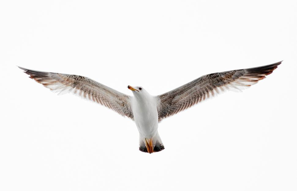Download Free Stock Photo of Seagull Flying free