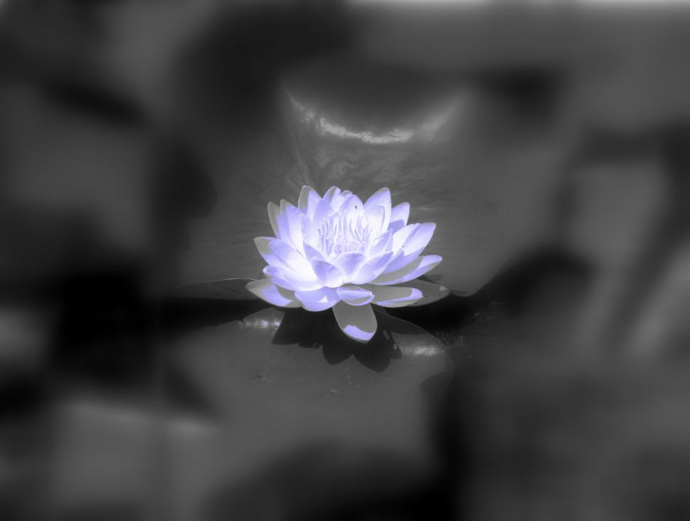 Download Free Stock Photo of Water Lily
