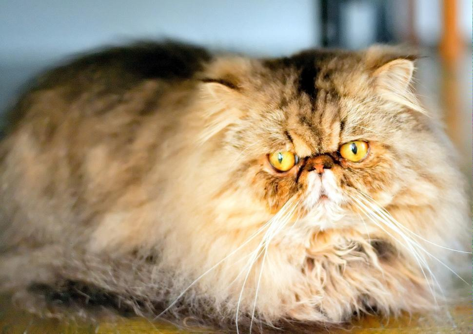 Download Free Stock HD Photo of Persian tomcat Online