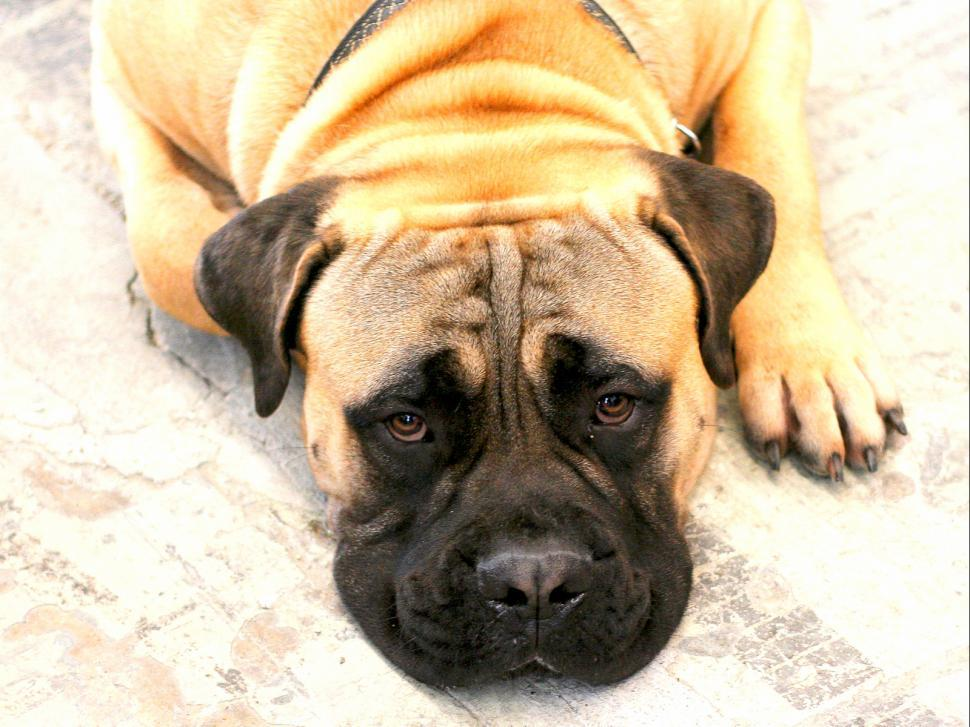 Download Free Stock Photo of Boxer  (a dog)