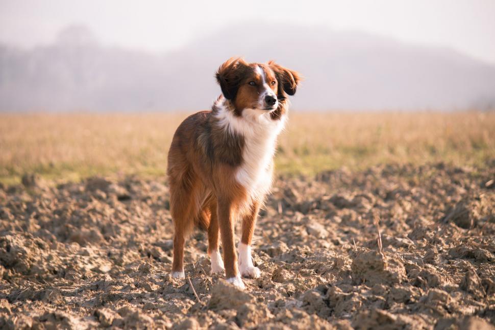 Download Free Stock Photo of dog papillon shepherd dog toy spaniel border collie