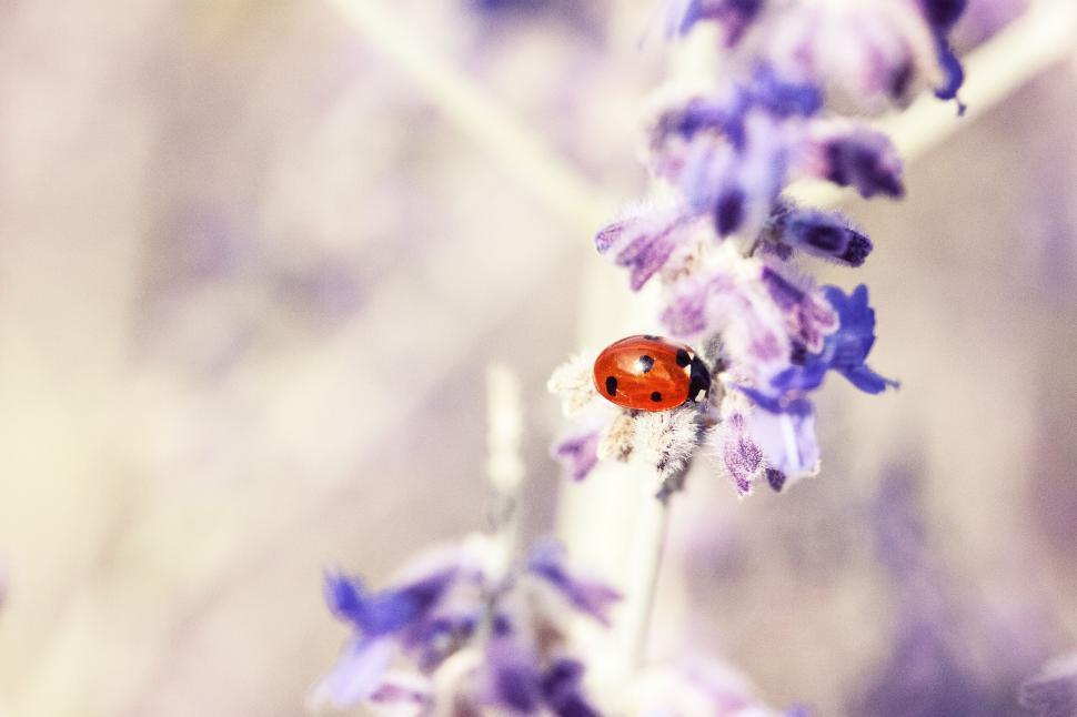 Download Free Stock Photo of beetle insect ladybug arthropod ladybird invertebrate garden bug spring plant summer leaf