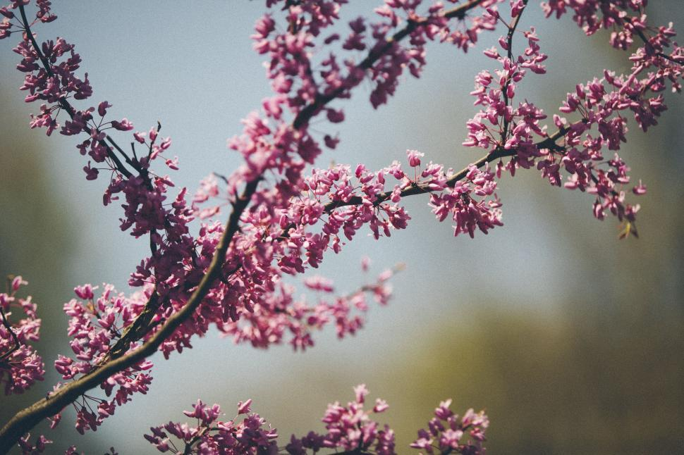 Download Free Stock Photo of almond flower pink tree blossom spring lilac garden leaf floral plant petal season branch flowers design