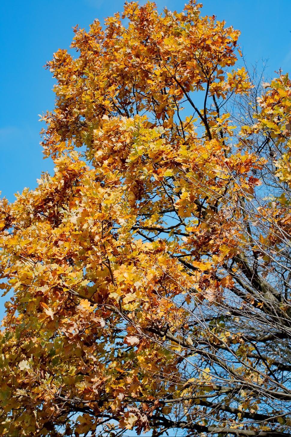 Download Free Stock Photo of Oak tree in Autumn