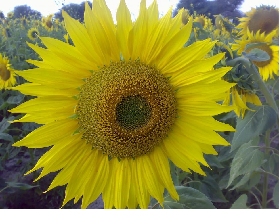 Download Free Stock HD Photo of SunFlower Online