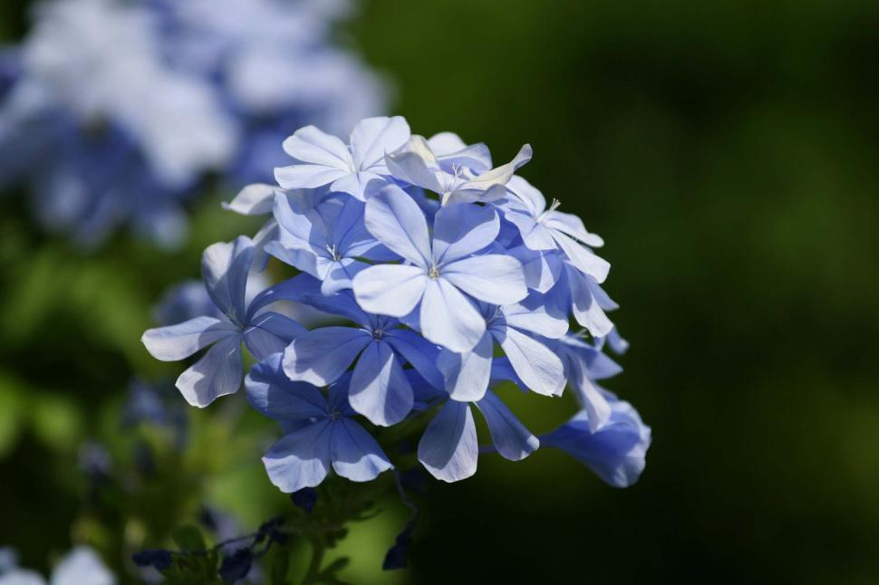 Download Free Stock HD Photo of Cluster of blue flowers Online