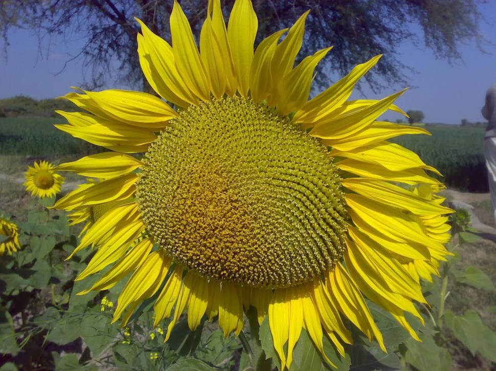 Download Free Stock Photo of SunFlower
