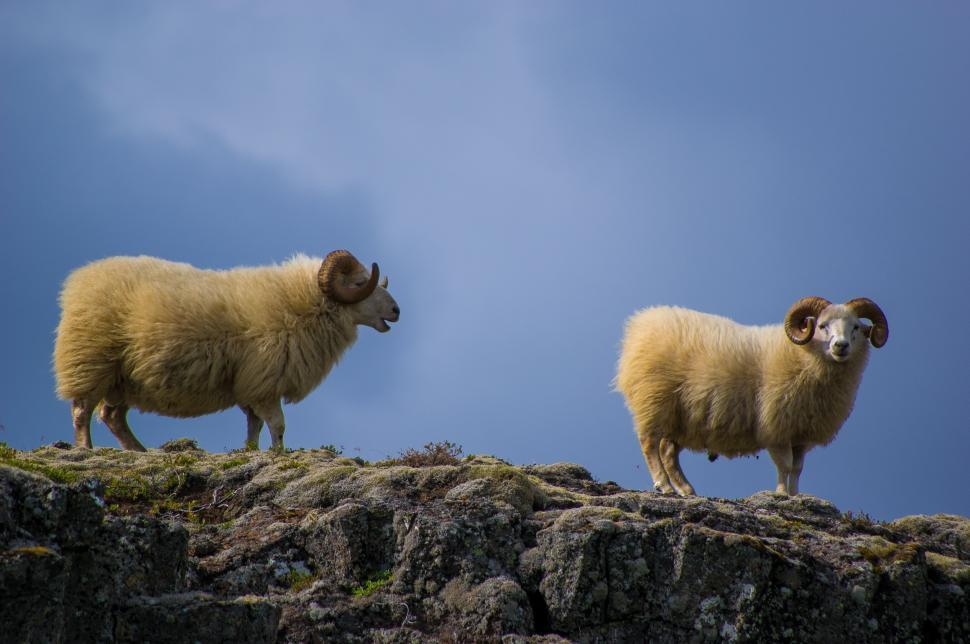 Download Free Stock Photo of sheep ram goat animal bovid mammal grass ruminant