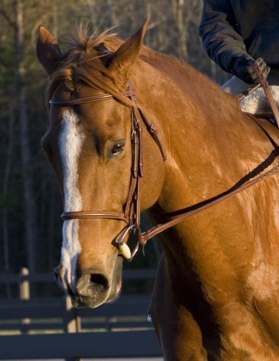 Download Free Stock Photo of Brutis the Horse
