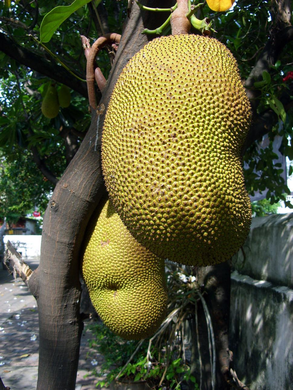Download Free Stock Photo of Jackfruit
