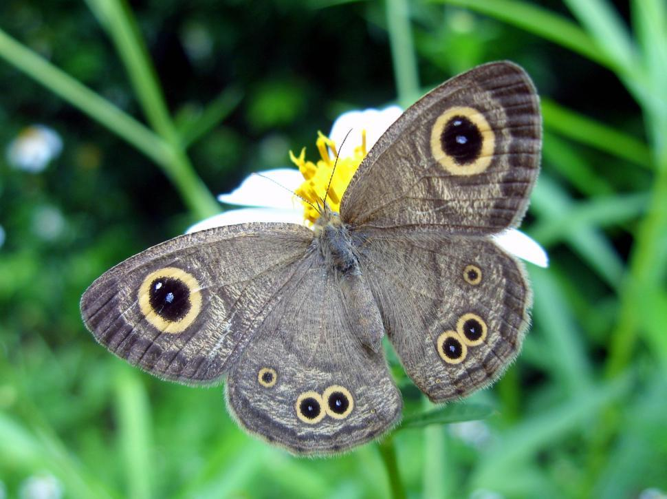 Download Free Stock HD Photo of Common 4-ring butterfly  Online