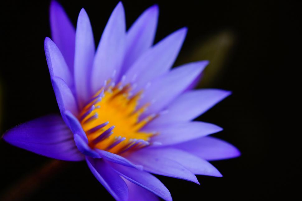 Download Free Stock Photo of Purple flower on black