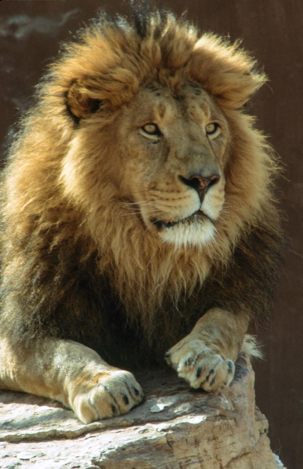Download Free Stock Photo of Large lion