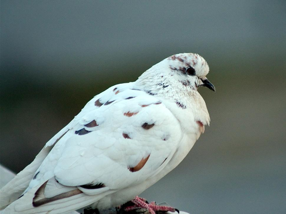 Download Free Stock Photo of White pigeon
