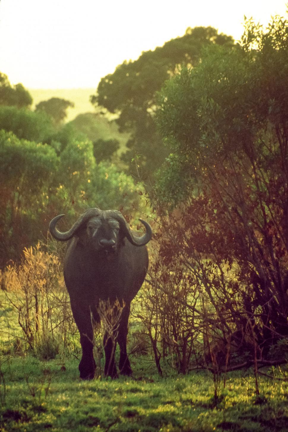 Download Free Stock HD Photo of Cape Buffalo also known as African buffalo Online