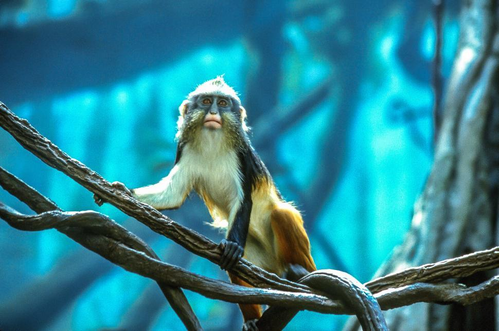 Download Free Stock HD Photo of Wolf s mona monkey also known as Wolf s guenon Online