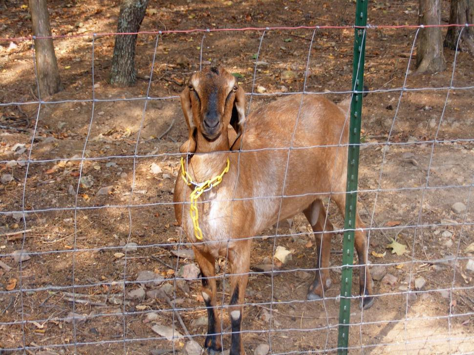Download Free Stock HD Photo of Goat - behind fence Online