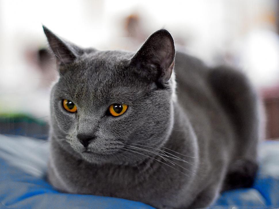 Download Free Stock HD Photo of The gray cat Online