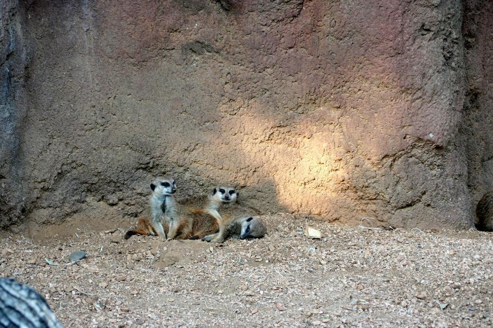 Download Free Stock Photo of Meerkat Family