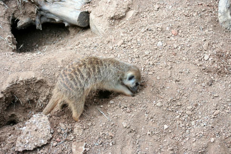 Download Free Stock HD Photo of Meerkat Digging Online