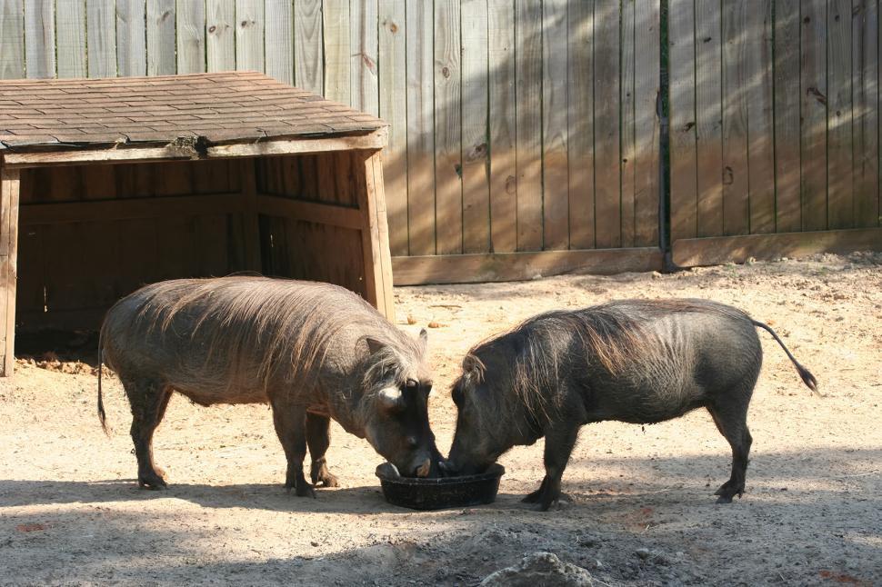 Download Free Stock Photo of Pair of Warthogs